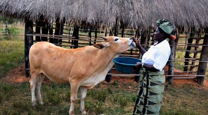 Picture of a cow being fed by a black woman in a Zambian farming investment environment