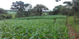 Picture of a mealie land in zambia