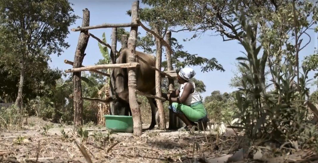 Women milking a cow in Zambia