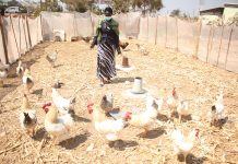 Chicken business supported by Kansanshi Mining Plc FQM in Zambia's North-Western Province